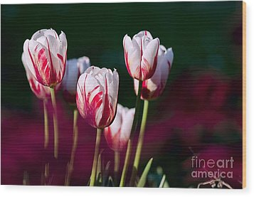 Wood Print featuring the photograph Tulips Garden Flowers Color Spring Nature by Paul Fearn