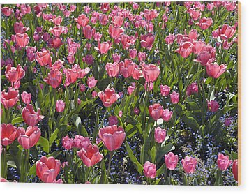 Tulips Wood Print by Matthias Hauser