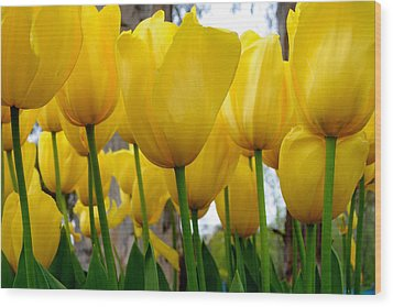 Tulips Of Gold Wood Print by Sally Nevin