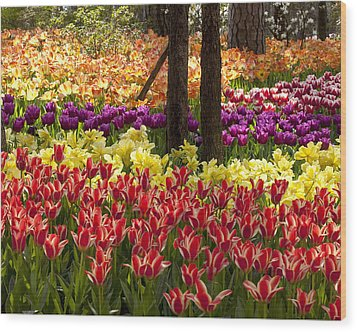 Wood Print featuring the photograph Tulips Tulips Tulips by Robert Camp