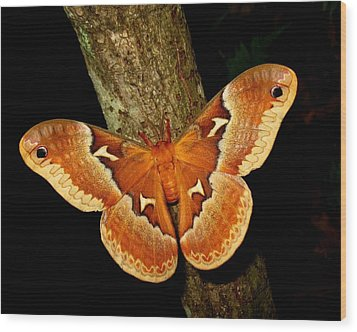 Wood Print featuring the photograph Tuliptree Silkmoth by William Tanneberger