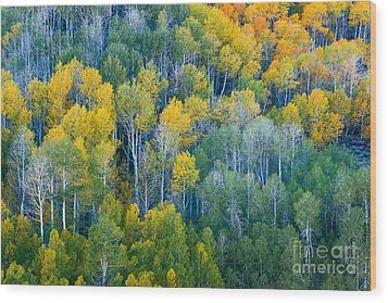 Turning Aspens At Dunderberg Meadows Wood Print