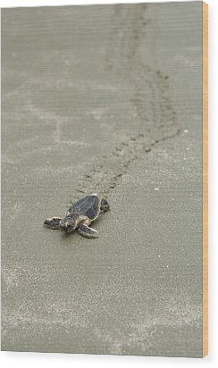 Turtle Tracks Wood Print by Patricia Schaefer