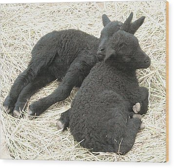 Twin Black Lambs Wood Print by Cathy Long