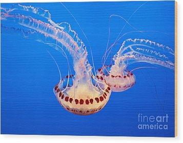 Twin Dancers - Large Colorful Jellyfish Atlantic Sea Nettle Chrysaora Quinquecirrha  Wood Print by Jamie Pham