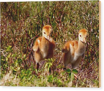 Wood Print featuring the photograph Twin Sandhill Chicks by Chris Mercer