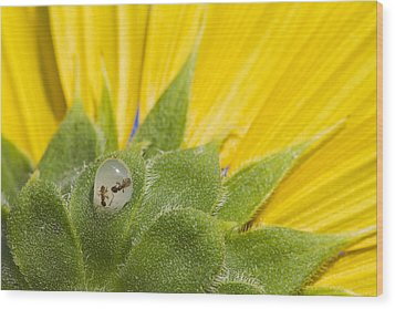 Two Ants Entombed In Sunflower Resin Wood Print