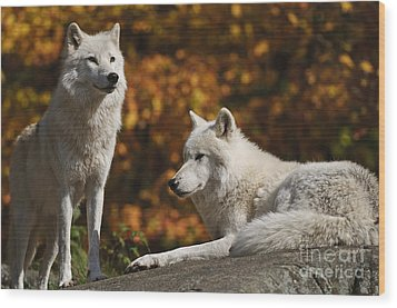 Wood Print featuring the photograph Two Arctic Wolves On Rock Hill by Wolves Only