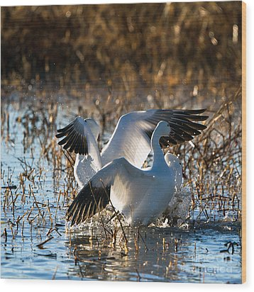 Two Backlit Snow Geese Wood Print by Martha Marks