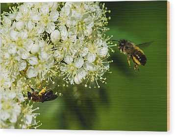 Two Bees On A Rowan Truss - Featured 3 Wood Print by Alexander Senin