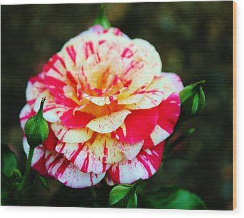 Two Colored Rose Wood Print by Cynthia Guinn
