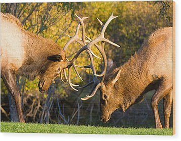 Two Elk Bulls Sparring Wood Print by James BO  Insogna