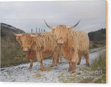 Two Highland Cows Wood Print by David Grant