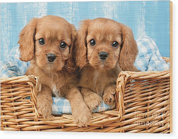 Two Puppies In Woven Basket Dp709 Wood Print by Greg Cuddiford