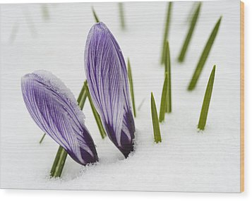 Two Purple Crocuses In Spring With Snow Wood Print