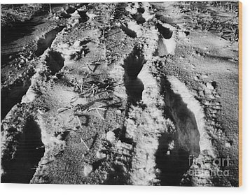 two sets of fresh footprints crossing deep snow in field Forget Saskatchewan Canada Wood Print by Joe Fox