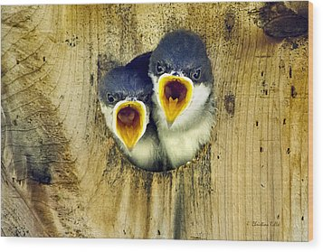 Two Tree Swallow Chicks Wood Print by Christina Rollo