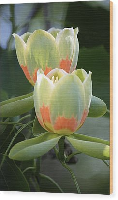 Two Tulips Wood Print by Jim Gillen