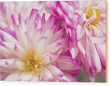 Two White And Pink Decorative Dahlias Wood Print by Daphne Sampson