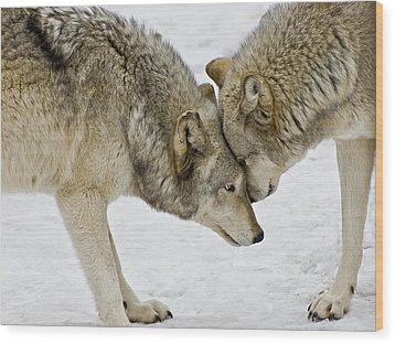 Two Wolves In  A Staredown Wood Print by Gary Slawsky
