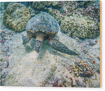Swimming Turtle Wood Print by Denise Bird