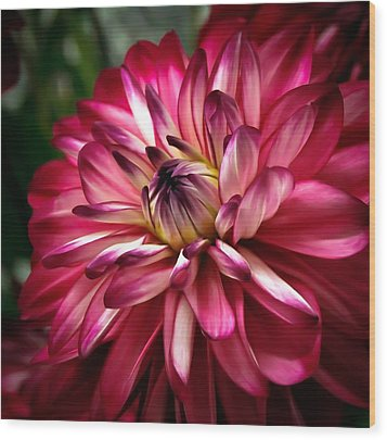 Dahlia Unfolding Wood Print