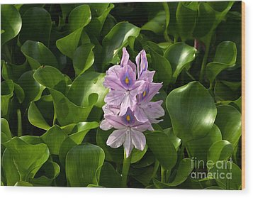 Unmanageable Beauty The Water Hyacinth Wood Print by Byron Varvarigos