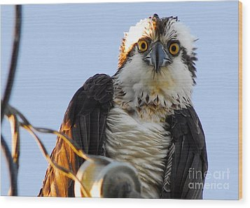 Urban Osprey Wood Print