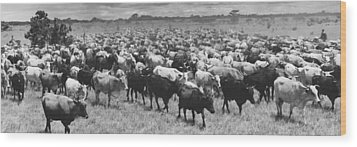 Venezuela Cattle Round-up  Wood Print by Retro Images Archive