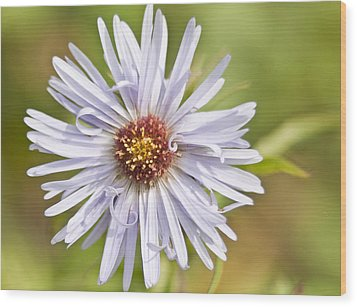 Vermont Aster Wood Print