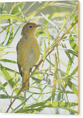 Wood Print featuring the photograph Very Yellow Warbler by Anita Oakley