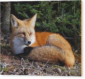 Vested Fox Wood Print