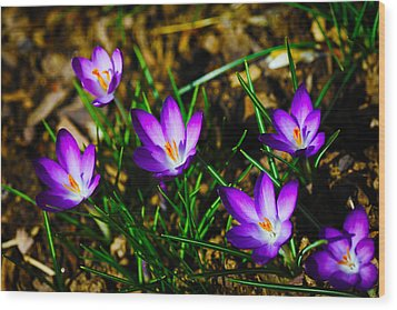 Vibrant Crocuses Wood Print by Karol Livote