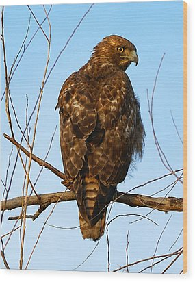 Vigilant Red-tailed Hawk  Wood Print