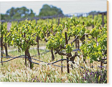 Vineyard With Young Plants Wood Print by Susan Schmitz