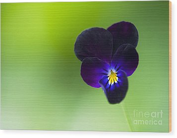 Viola Cornuta 'bowles Black' Wood Print by Tim Gainey