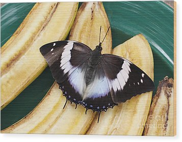 Violet-spotted Charaxes Butterfly Wood Print