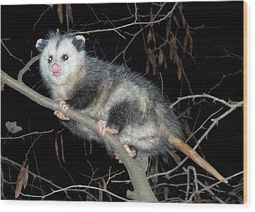 Wood Print featuring the photograph Virginia Opossum by William Tanneberger