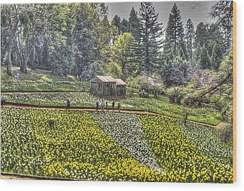 Visitors On Daffodil Hill Wood Print