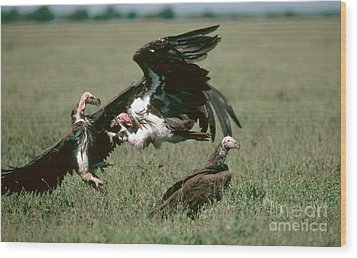 Vulture Fight Wood Print by Gregory G. Dimijian, M.D.