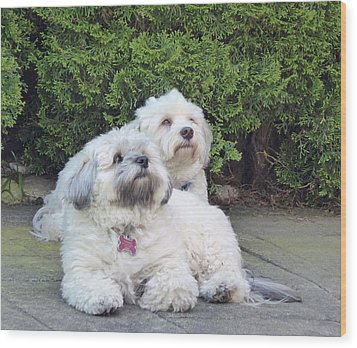 Wood Print featuring the photograph Havanese Dog Sisters by Laurie Tsemak