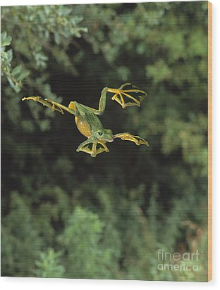 Wallaces Flying Frog Wood Print by Stephen Dalton