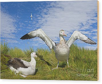 Wandering Albatross Courting  Wood Print