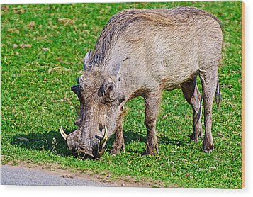 Warthog In Addo Elephant Park Near Port Elizabeth-south Africa  Wood Print by Ruth Hager