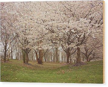 Washington Dc Cherry Blossoms Wood Print by Kim Hojnacki