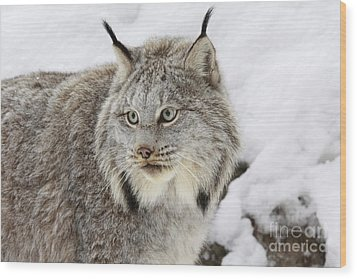 Watchful Canadian Lynx Wood Print by Inspired Nature Photography Fine Art Photography