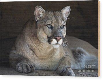 Watchful Cougar Wood Print by John Van Decker