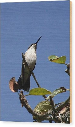 Watchful Female Hummingbird  Wood Print by Eunice Miller
