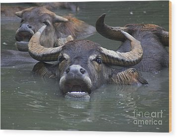 Water Buffalo Wood Print