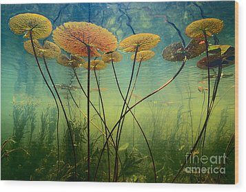 Water Lilies Wood Print by Frans Lanting MINT Images